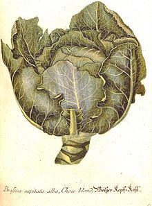 Illustrazione di Dyonisus Ehret